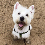 picture of a happy west highland terrier