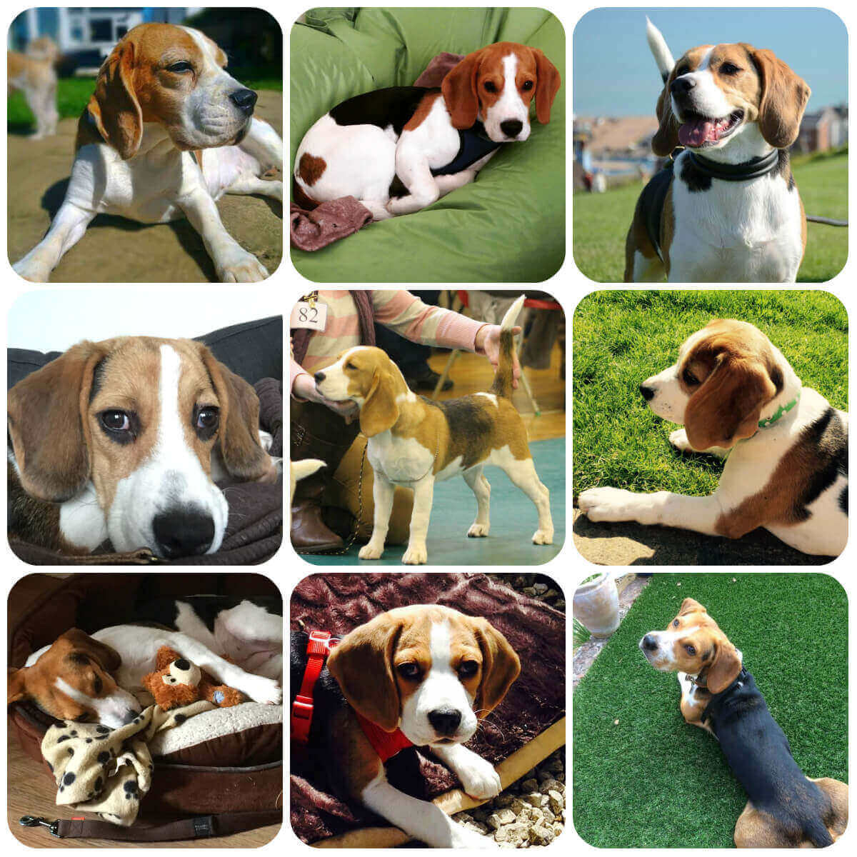Beagle collage, part of BorrowMyDoggy's guide to dog breeds.