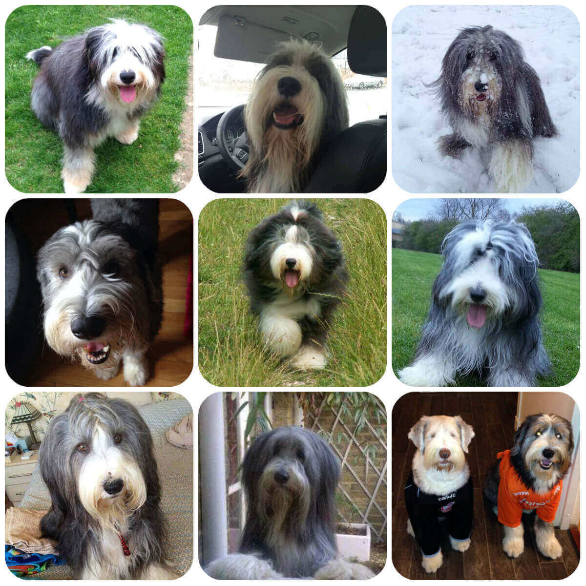 collage of bearded collie dogs and puppies, part of borrowmydoggy's guide to dog breeds