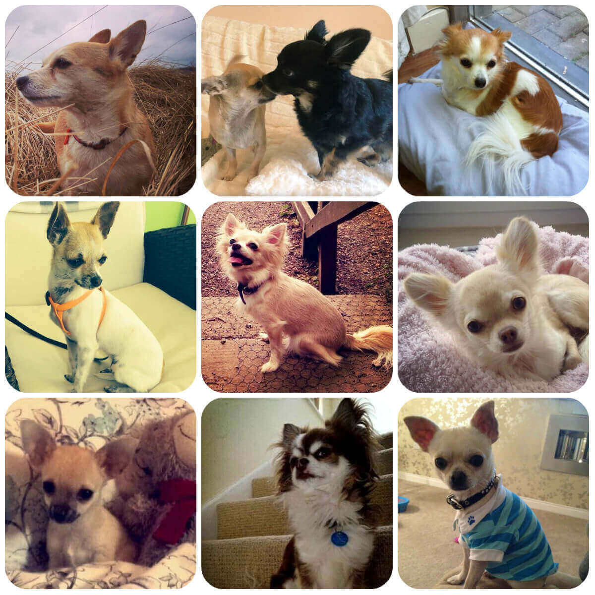collage of chihuahua dogs and puppies, part of borrowmydoggy's guide to dog breeds