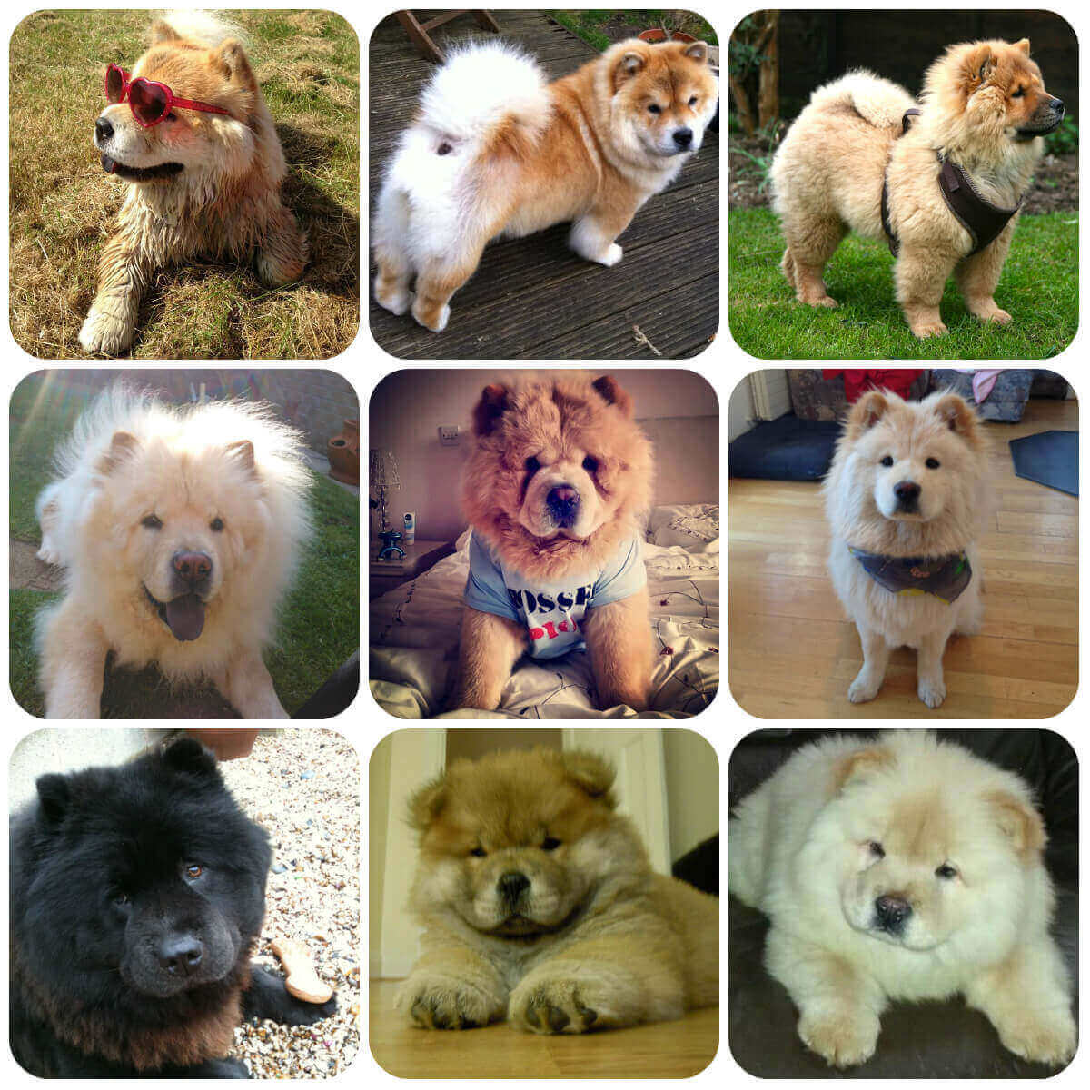 A collage of chow chow dogs and puppies, part of BorrowMyDoggy's guide to dog breeds.