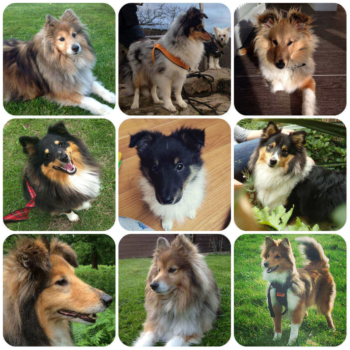 A collage of Shetland Sheepdog dogs and puppies, part of BorrowMyDoggy's guide to dog breeds.