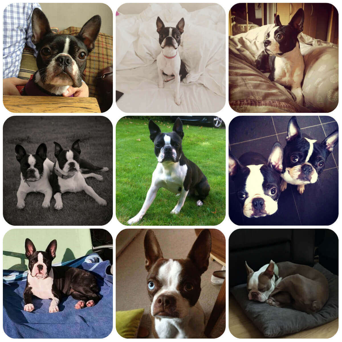 collage of boston terrier dogs and puppies, part of borrowmydoggy's guide to dog breeds