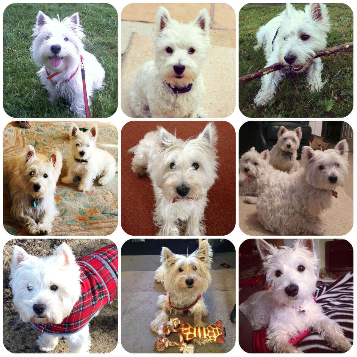 A collage of west highland terrier dogs and puppies, part of BorrowMyDoggy's guide to dog breeds.