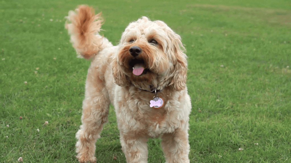 photo of a cavapoo out on a walk