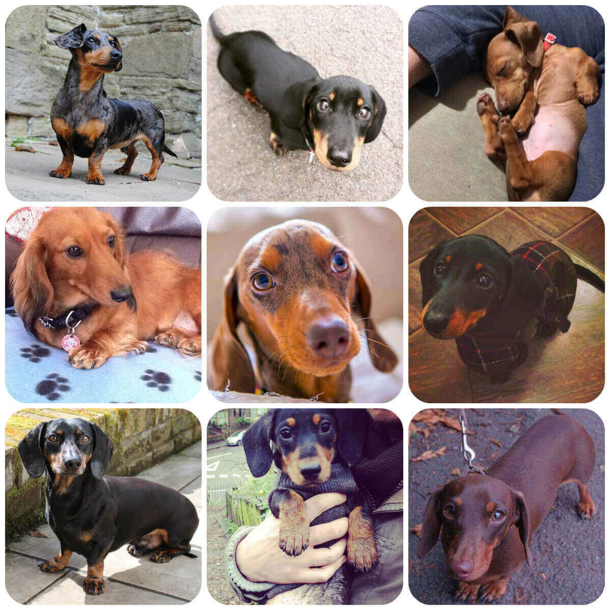 Dachshund collage, part of BorrowMyDoggy's guide to dog breeds.
