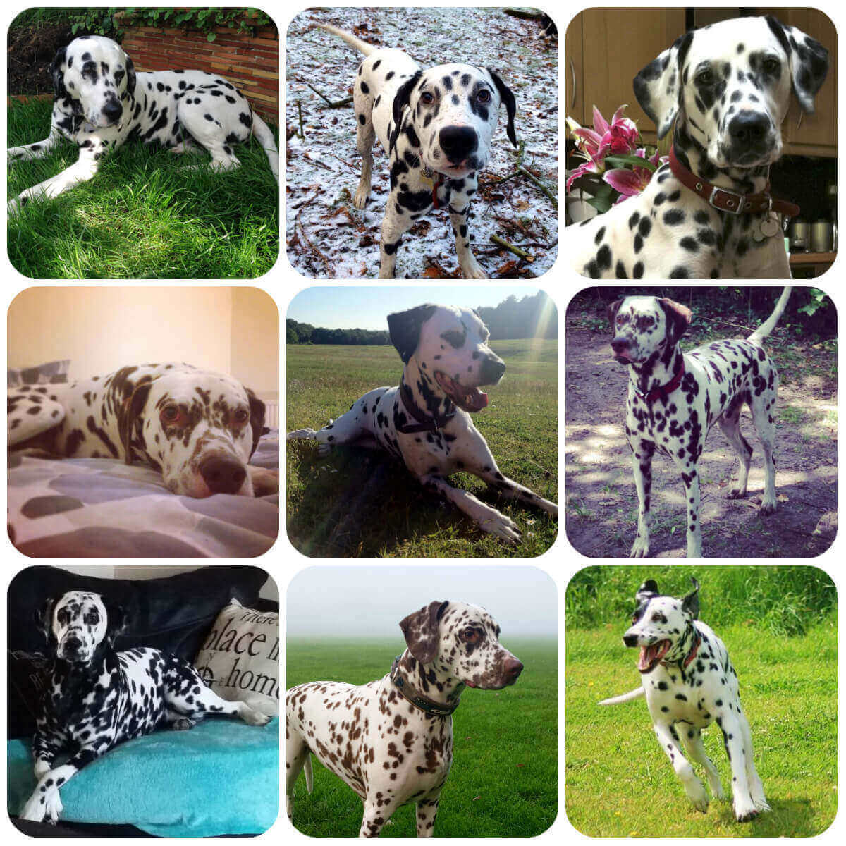 a collage of dalmatian dogs and puppies, part of borrowmydoggy's guide to dog breeds.