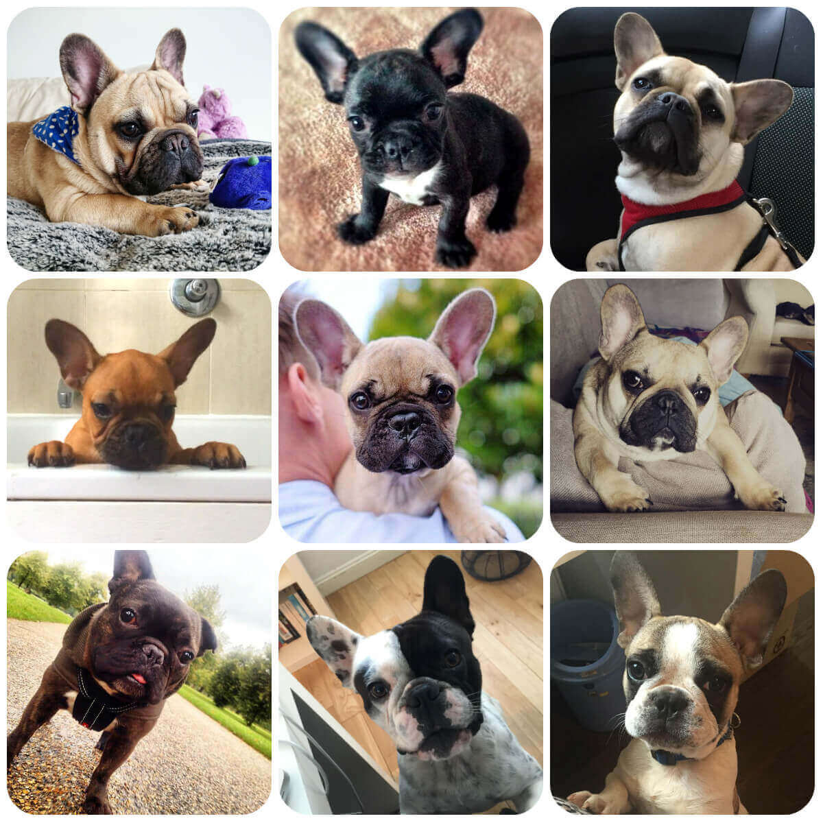 french bulldog collage, part of BorrowMyDoggy's guide to dog breeds.