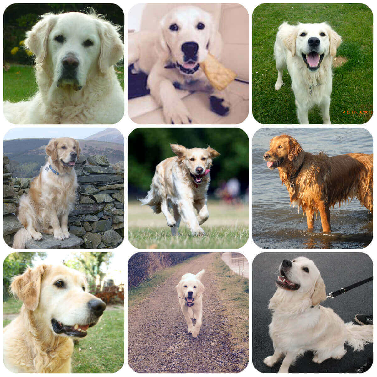 Golden Retriever collage, part of BorrowMyDoggy's guide to dog breeds.