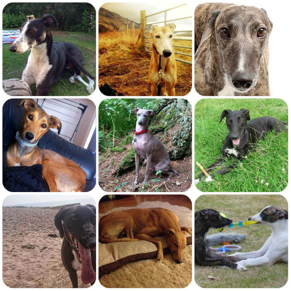A collage of greyhound dogs and puppies. Part of BorrowMyDoggy's guide to dog breeds.