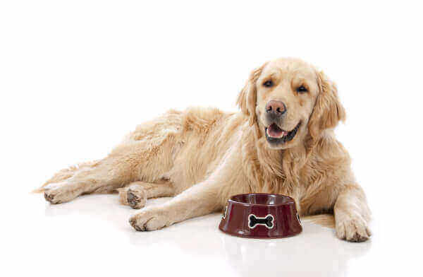 Happy golden retriever with his food bowl