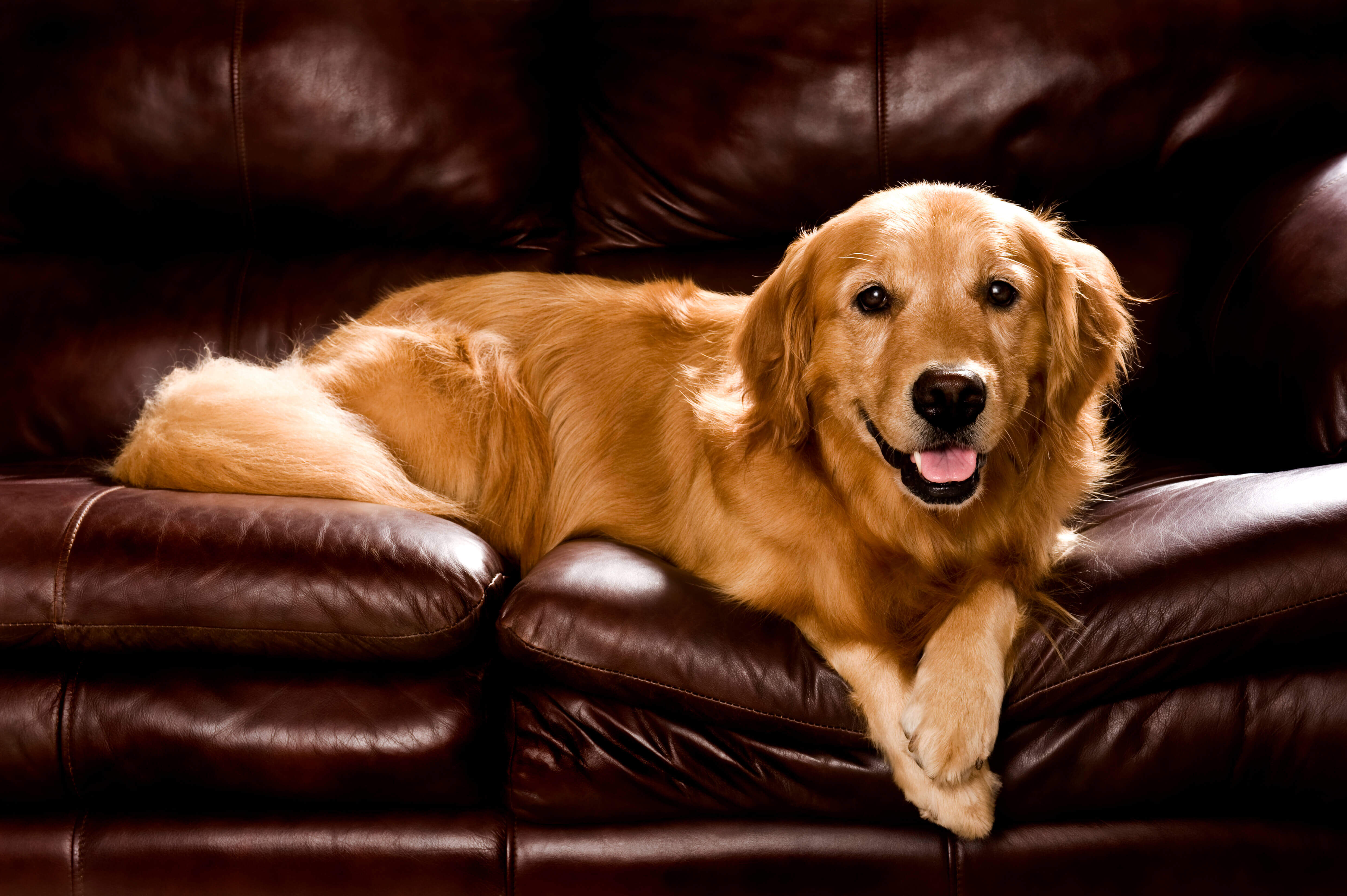 golden retriever. Cute Golden Retriever. Golden Retriever on sofa. Dog on sofa. Fireworks and dogs.