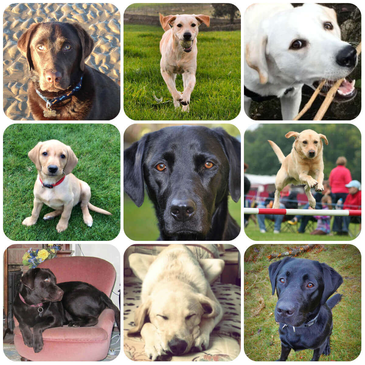 Labrador collage, part of BorrowMyDoggy's guide to dog breeds
