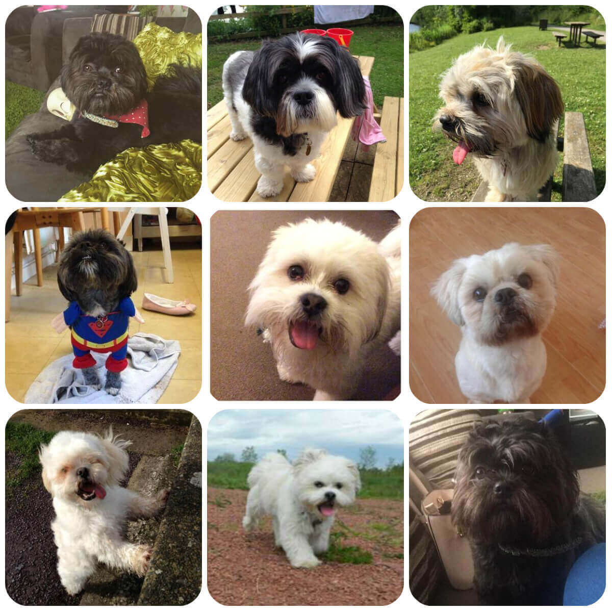 collage of lhasa apso dogs and puppies, part of BorrowMyDoggy's guide to dog breeds.