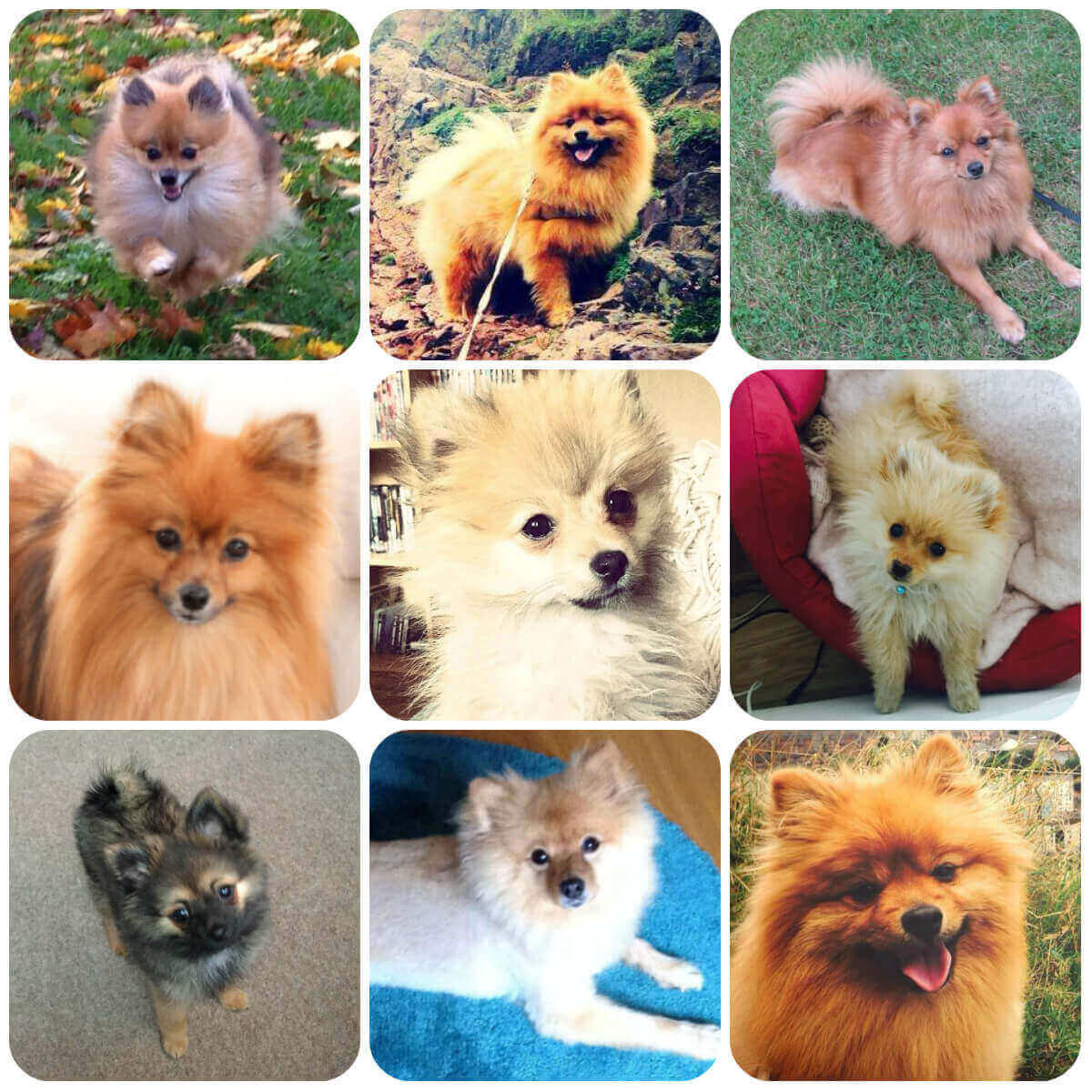 a collage of pomeranian dogs and puppies
