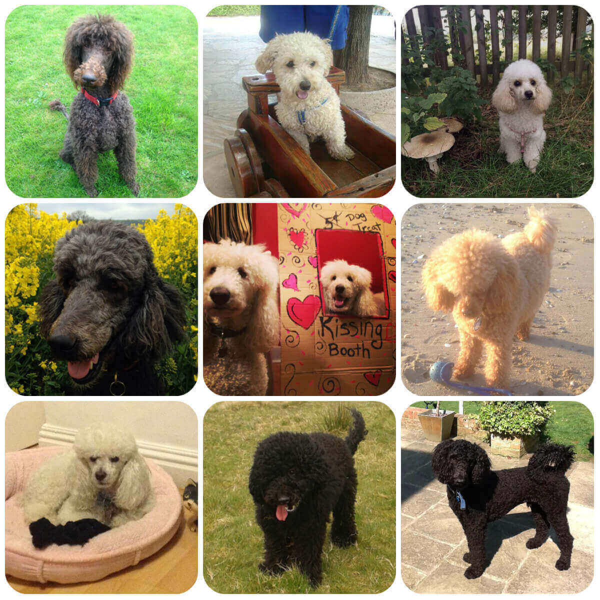collage of poodle dogs and puppies, part of borrowmydoggy's guide to dog breeds.