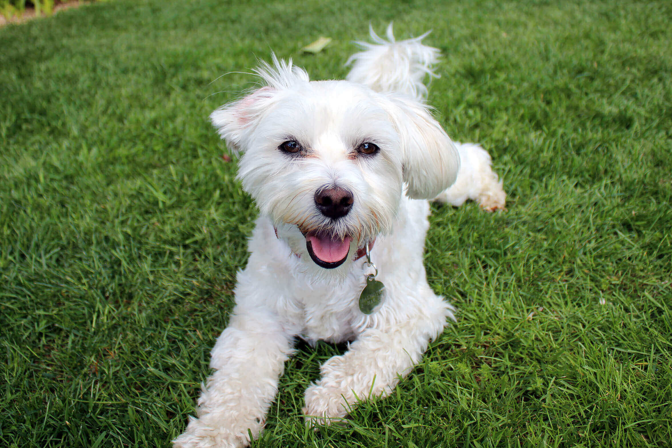 happy white dog on grass