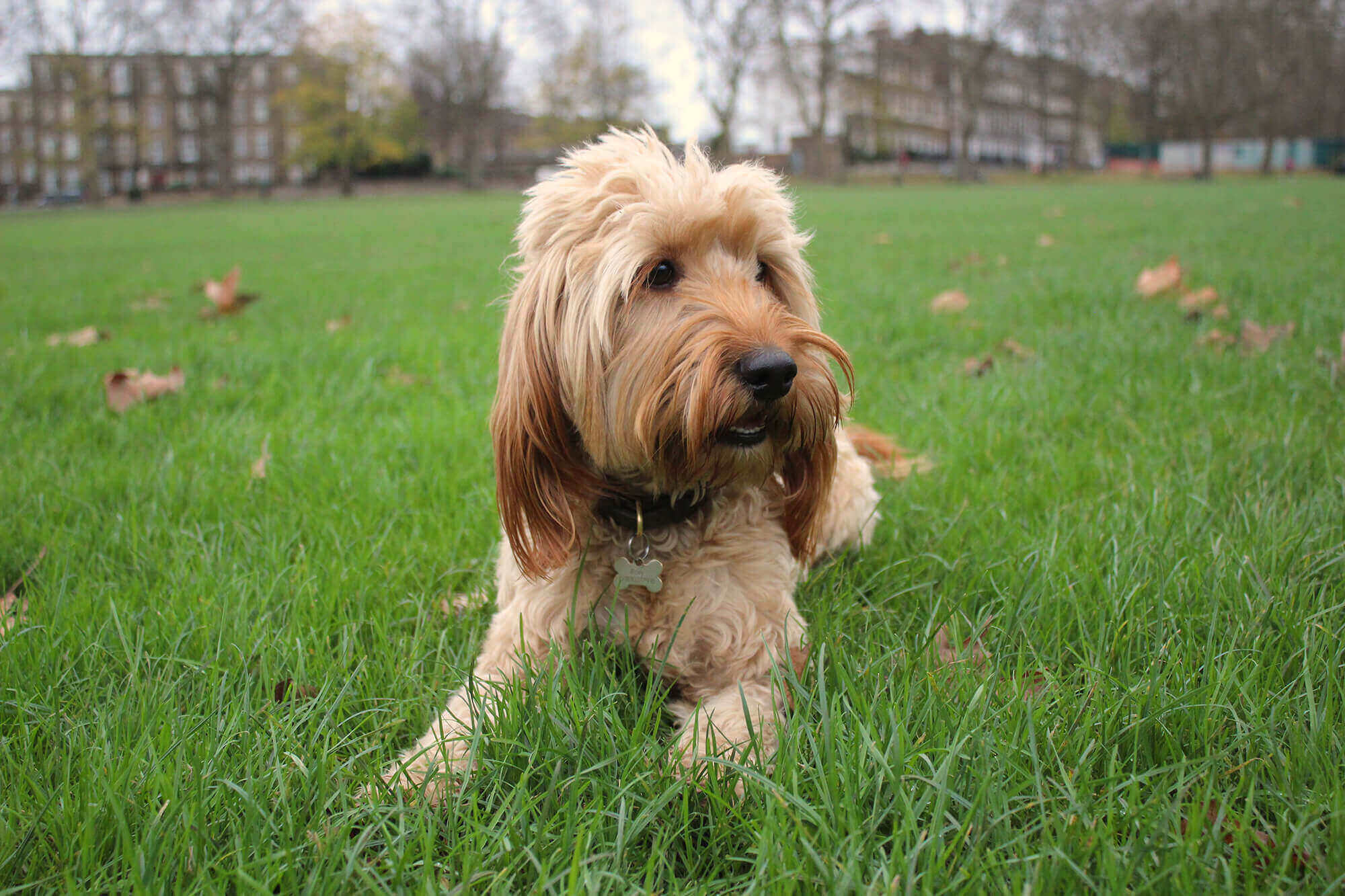 apricot cockapoo in a park