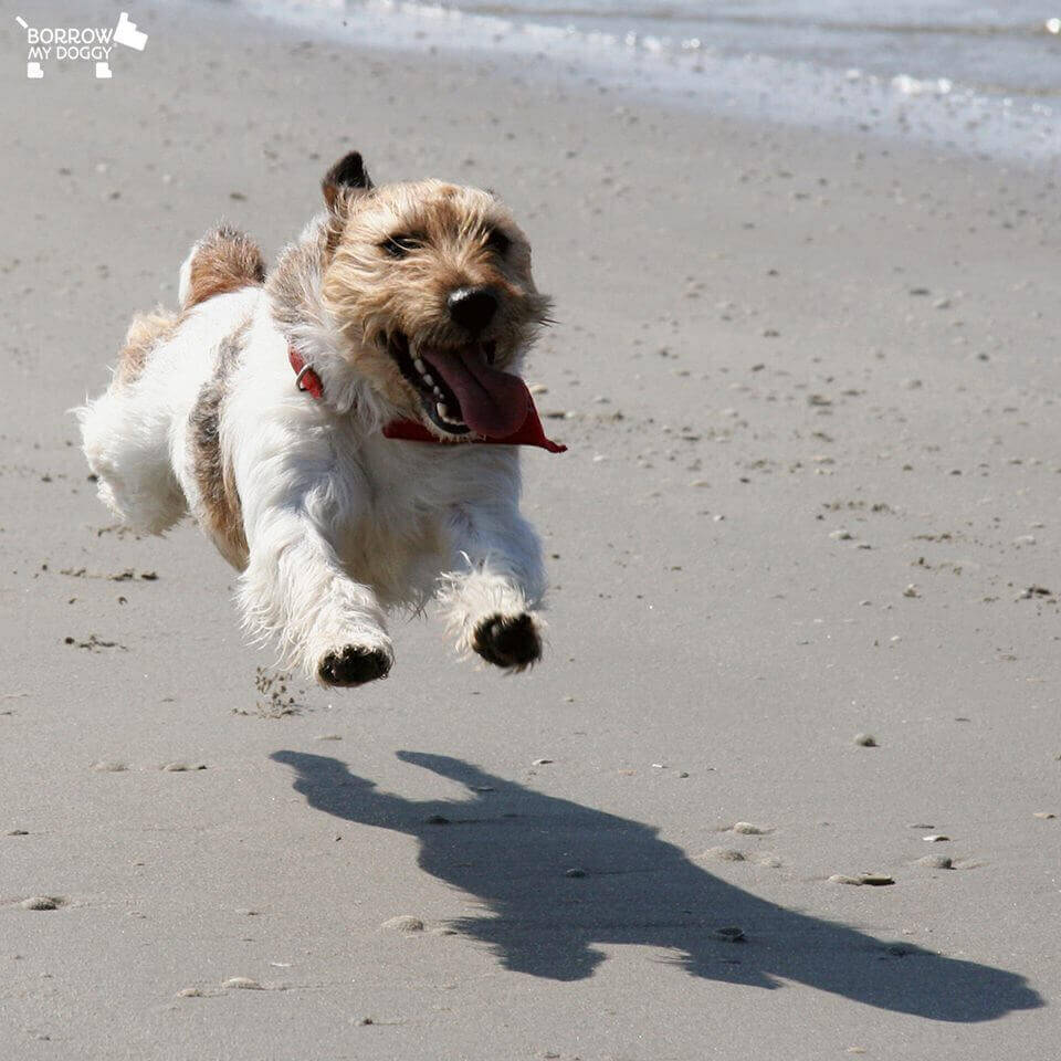 photo of a happy dog on the beach, part of borrowmydoggy's tips for your dog this summer.