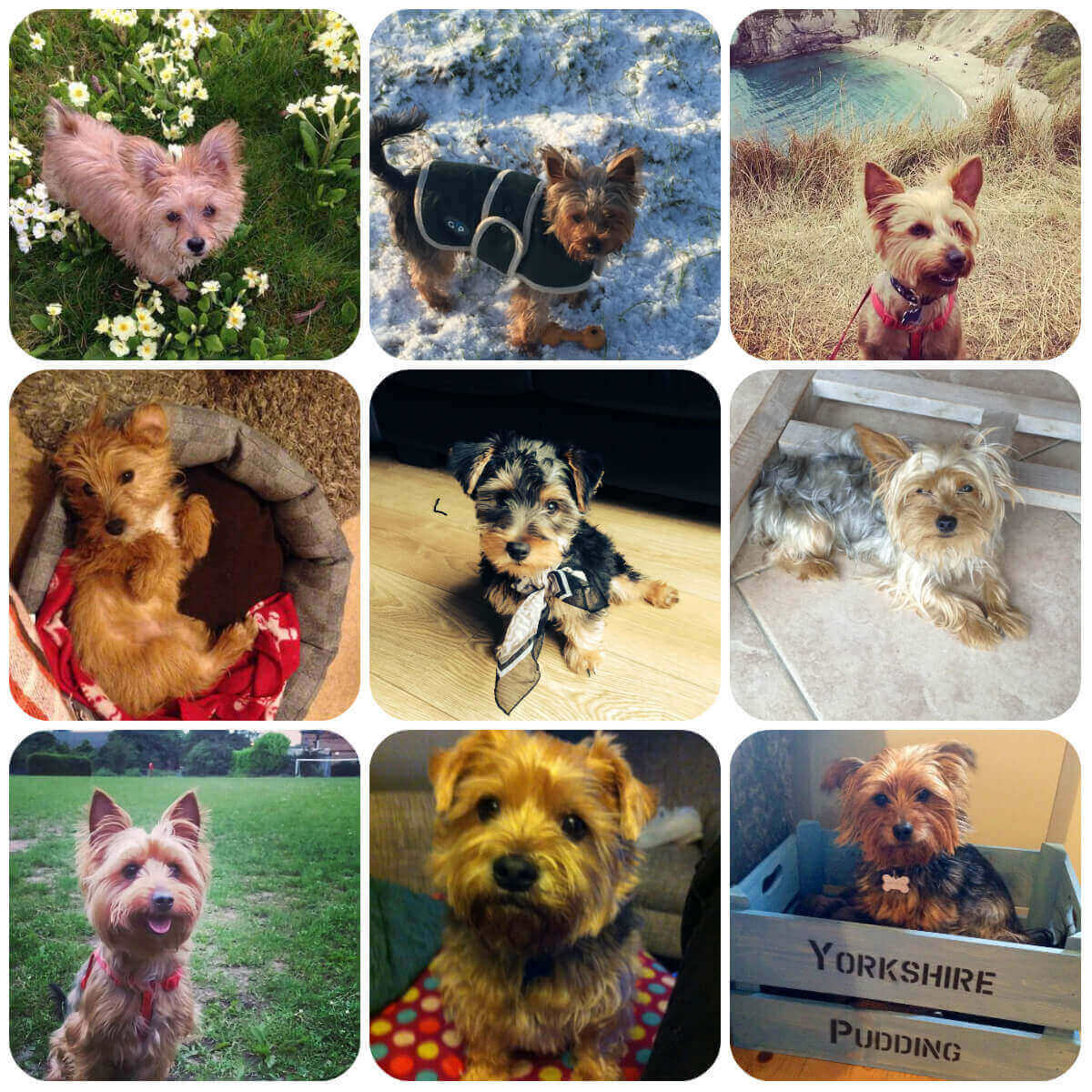 collage of Yorkshire Terrier dogs and puppies, part of BorrowMyDoggy's guide to dog breeds.